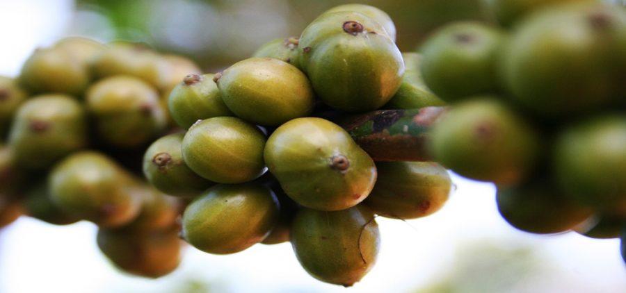 Cafe Verde, como tomar cafe verde en capsulas, cafe con te verde