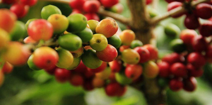 El Proceso de Producción del Café: de la Semilla a la Taza