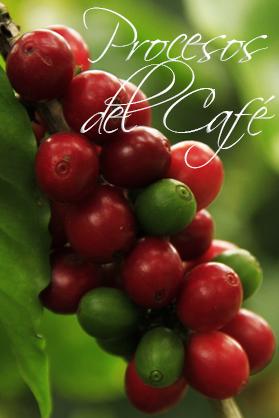 ▷ PROCESO DE PRODUCCIÓN DEL CAFÉ de la Semilla a la Taza 2020