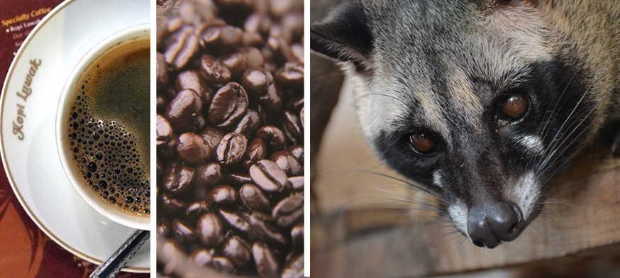 Kopi Luwak el Café más Caro del Mundo (y más raro)