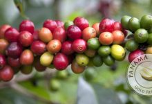 ¿Qué es el Café Geisha Panameño? La Realidad de un Frijol de Fantasía